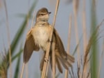 Research European songbirds perfect their voices while wintering in Africa