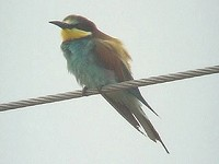 Articles Breeding Bee-eaters in Herefordshire