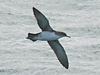 Rarity finders Britain's 600th bird: Yelkouan Shearwater in Devon