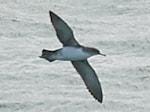 Rarity finders Britain's 600th bird: Yelkouan Shearwater in Devon