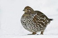 Birding abroad Winter birds of boreal Canada
