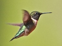 Research Tiny hummingbirds' incredible migration