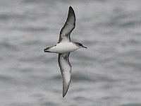 Focus On Identifying Yelkouan Shearwaters
