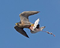 Research Thermal camera sheds light on Peregrine feeding habits