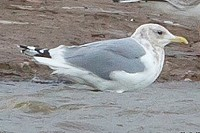 Rarity finders Thayer's Gull in Suffolk
