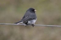 Rarity finders Dark-eyed Junco on the Isle of Man