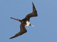Rare Western Palearctic birds Magnificent Frigatebird