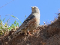Rarity finders Alpine Accentor in Hampshire