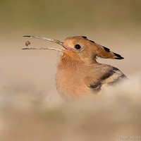 Bird of the Week Hoopoe