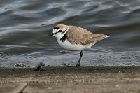 Bird of the Week Kentish Plover