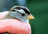 Rarity finders White-crowned Sparrow in Cheshire
