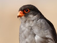 Rarity finders Amur Falcon - a first for Cyprus