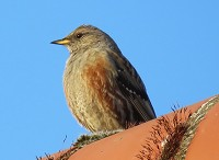 Rarity finders Alpine Accentor in Lincolnshire