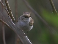 Rarity finders Eastern Bonelli's Warbler on the Isle of Man