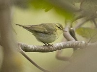 Rarity finders Green Warbler on Unst