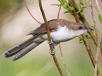 Rarity finders Black-billed Cuckoo, North Uist