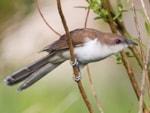 Rarity finders Black-billed Cuckoo, North Uist