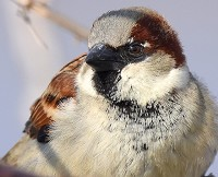 Research Cheated male sparrows care less for their young