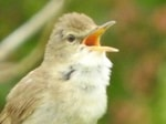 Articles Singing Blyth's Reed Warbler in East Sussex