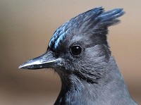 Research Campgrounds alter Steller's Jay behaviour