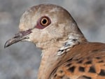 BTO Turtle Dove population crashes to new low