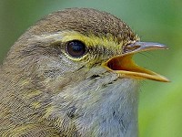 Research Why males outnumber females in declining bird populations