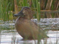 Focus On Pochard, Canvasback and Redhead