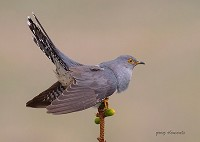 BTO Common Cuckoo declines linked to migration routes