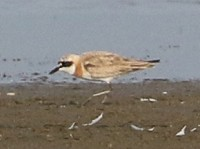 Rarity finders Greater Sand Plover at Tacumshin - a new species for Ireland
