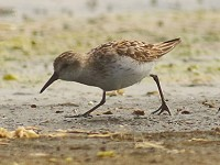 Rarity finders Western Sandpiper at Tacumshin
