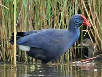 Rarity finders Western Swamphen at Minsmere