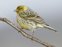 Research Inbreeding linked to off-key singing in birds