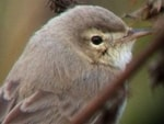 Focus On Booted Warbler
