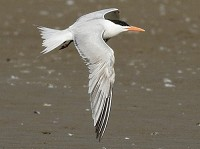 Rarity finders Royal Tern in Co Mayo