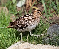 Focus On Great Snipe