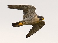 Research Urban Peregrines hunt at night