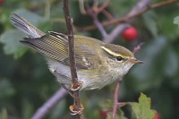 Articles An exceptional arrival of Yellow-browed Warblers at Flamborough Head