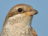 Bird of the Week Red-backed Shrike, Newhaven