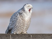Research Robust Snowy Owls