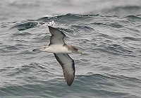 Focus On Identifying Scopoli's Shearwater outside the Mediterranean