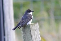 Rarity finders Eastern Kingbird on the Outer Hebrides