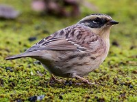 Bird of the Week Siberian Accentor, Easington