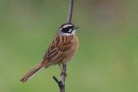 Birding abroad Japan–spring in central Honshu