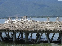 Birding abroad A new breeding site for Dalmatian Pelican