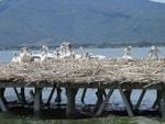 Birding abroad A new breeding site for Dalmatian Pelican