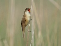 Research Tracking Great Reed Warbler migration
