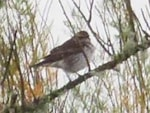 Rarity finders Dusky Thrush on Scilly