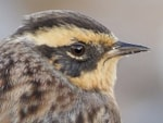 Articles An exceptional influx of Siberian Accentors to Northern Europe