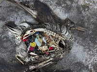 Research Seabirds eat plastic because it smells like food