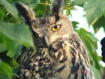 Articles Should breeding Eagle Owls in the UK be encouraged?
